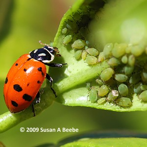 Lady Beetle Adult 2009 Susan A Beebe