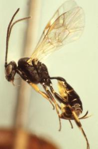 Bathyplectes curculionis - a parasitoid wasp of alfalfa weevil (Image: Bob Carlson 2009)