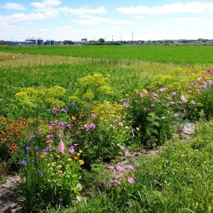 A strip of annual flowering plants and part of our study plots at one of UW's agricultural experiment stations.